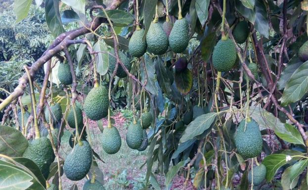 The World Avocado Organization places the tropical sector of Malaga in the world